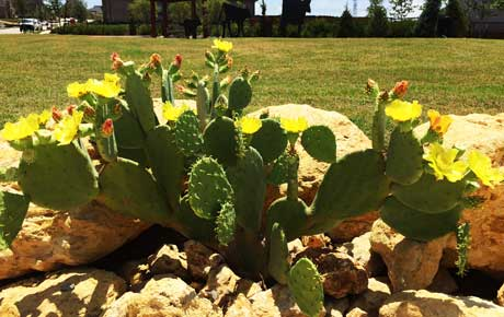 Prickly Pear in full bloom at the Fairway Ranch Dog Park.